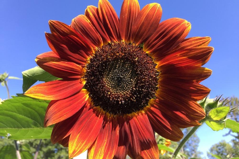 blue_red_sunflower