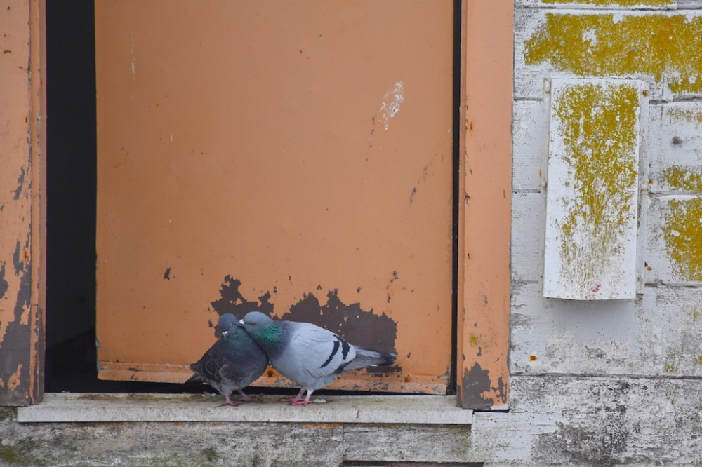 pigeon_love